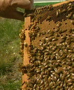making money beekeeping